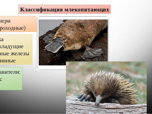 Классификация млекопитающих Первозвери (Однопроходные) Клоака Яйцекладущие Мл...