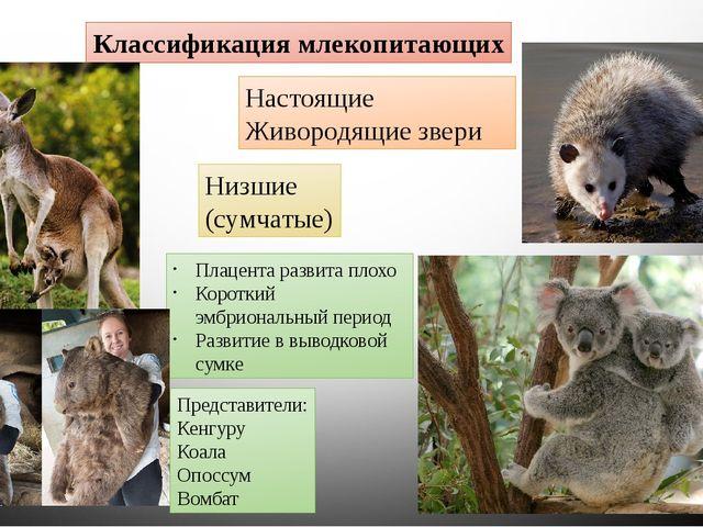 Классификация млекопитающих Настоящие Живородящие звери Низшие (сумчатые) Пла...