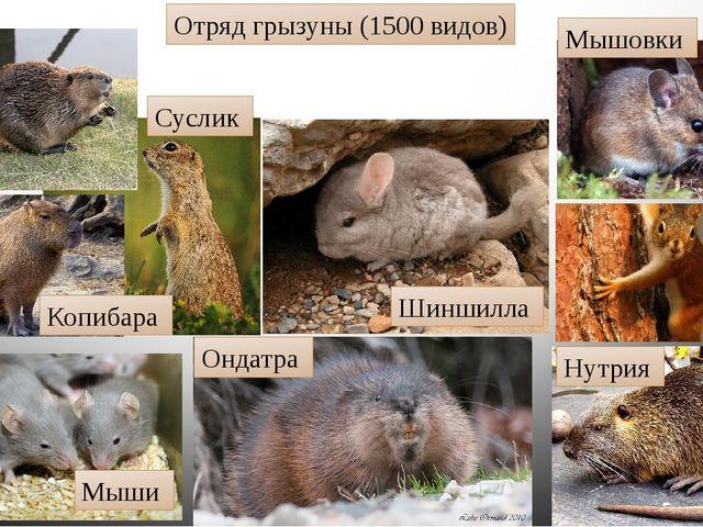 Отряд грызуны (1500 видов) Мышовки Белки Нутрия Ондатра Шиншилла Мыши Суслик...