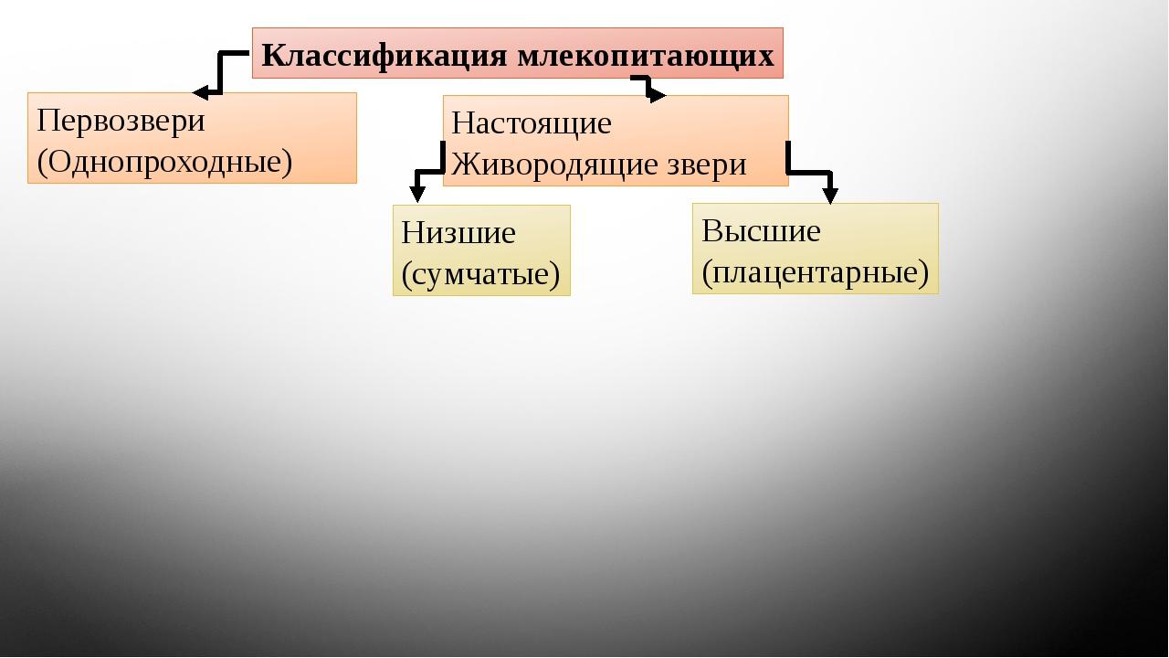 Классификация млекопитающих Первозвери (Однопроходные) Настоящие Живородящие...