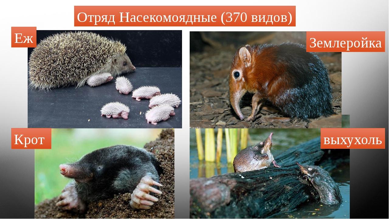 Отряд Насекомоядные (370 видов) Крот Еж Землеройка выхухоль