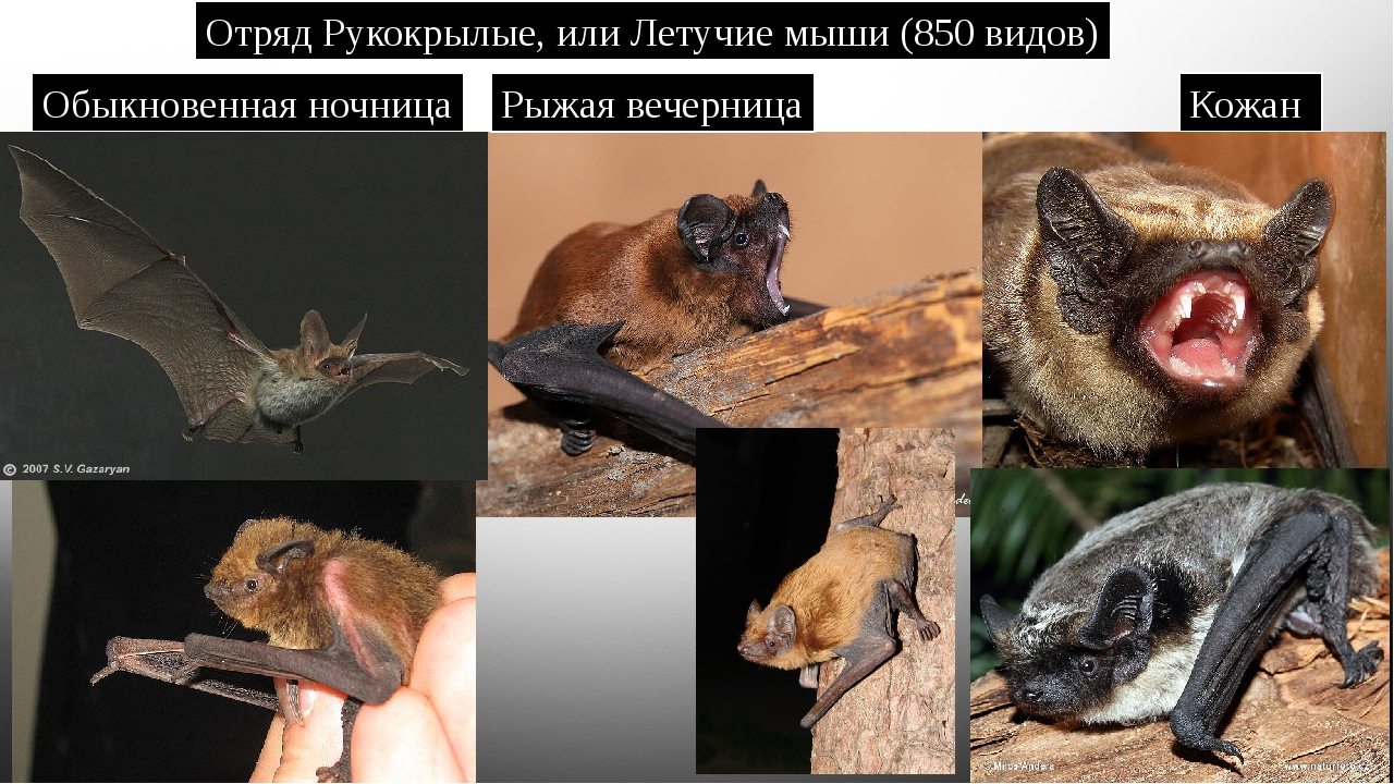 Отряд Рукокрылые, или Летучие мыши (850 видов) Обыкновенная ночница Рыжая веч...
