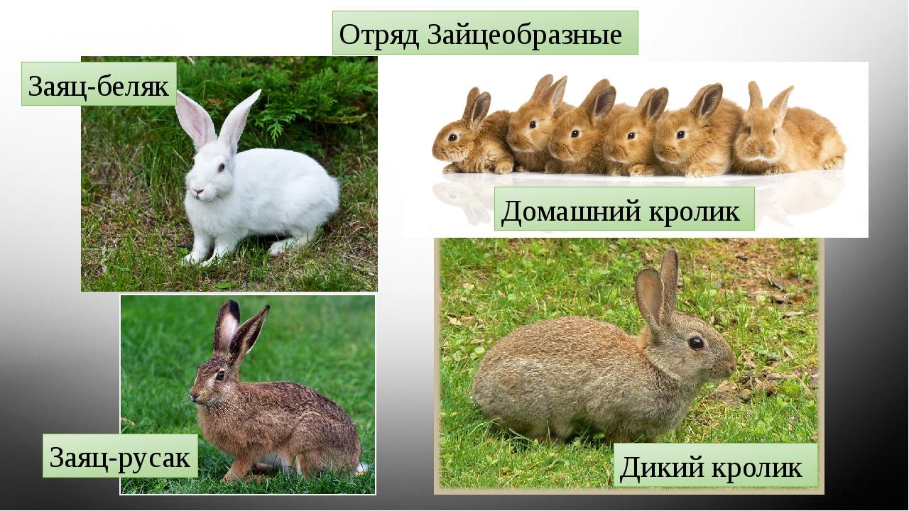 Отряд Зайцеобразные Дикий кролик Домашний кролик Заяц-беляк Заяц-русак