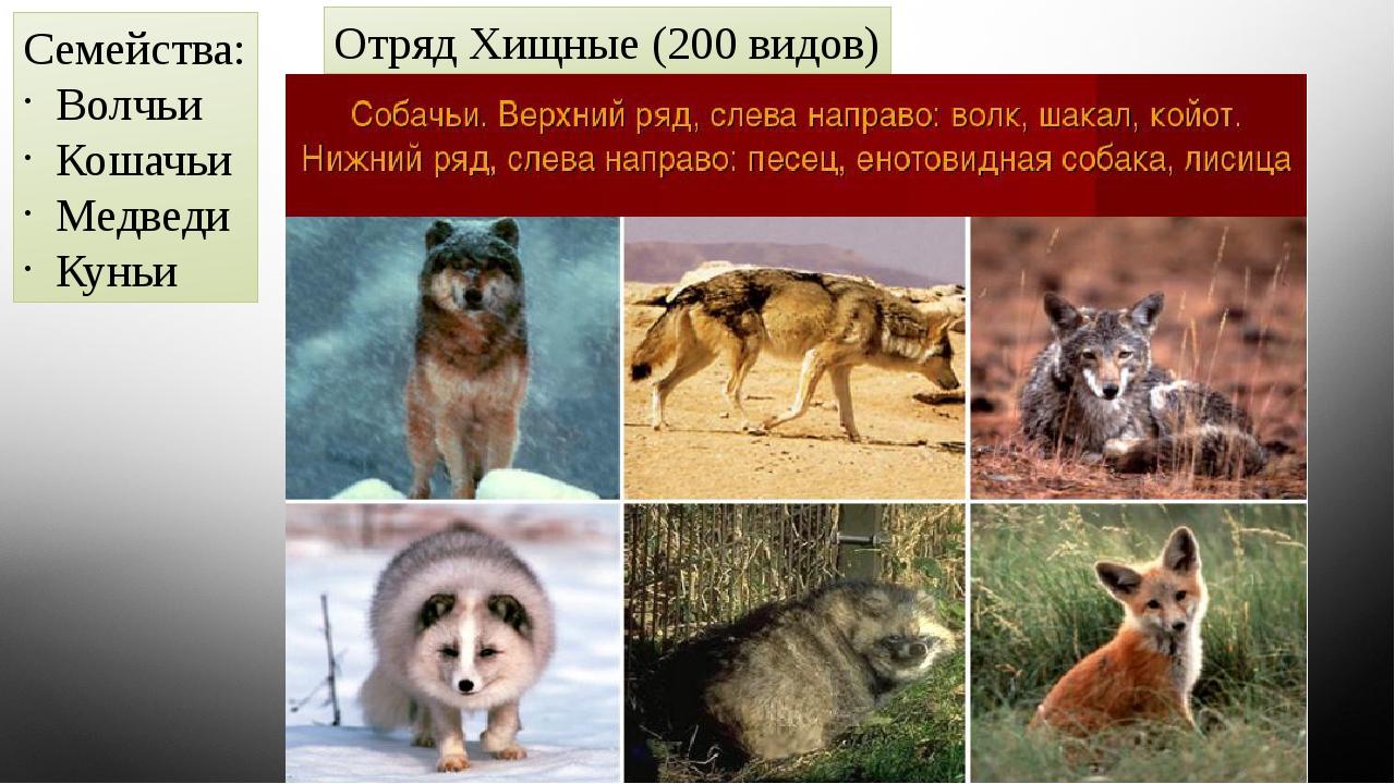 Отряд Хищные (200 видов) Семейства: Волчьи Кошачьи Медведи Куньи