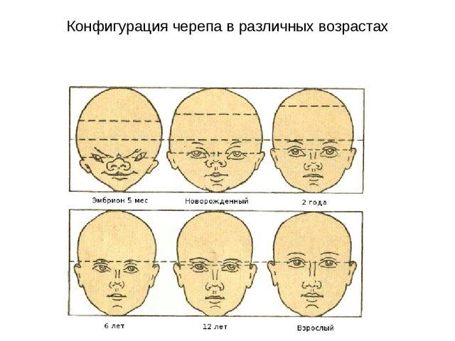 Конфигурация черепа в различных возрастах