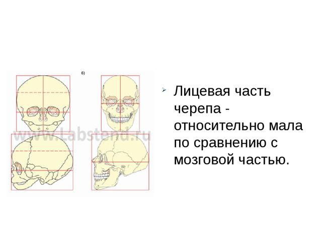 Лицевая часть черепа - относительно мала по сравнению с мозговой частью.