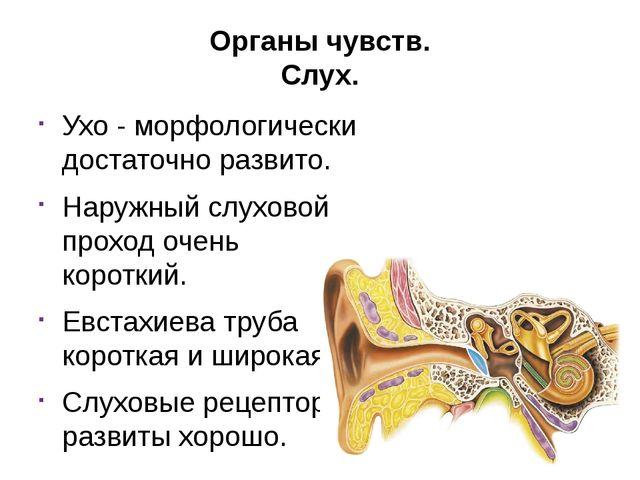 Органы чувств. Слух. Ухо - морфологически достаточно развито. Наружный слухов...