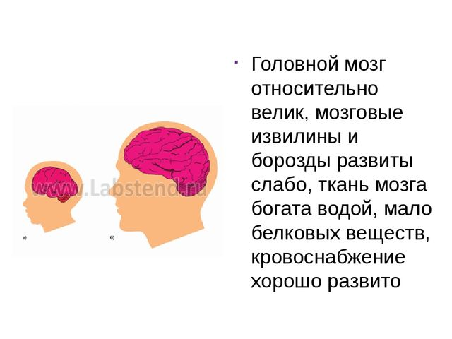 Головной мозг относительно велик, мозговые извилины и борозды развиты слабо,...