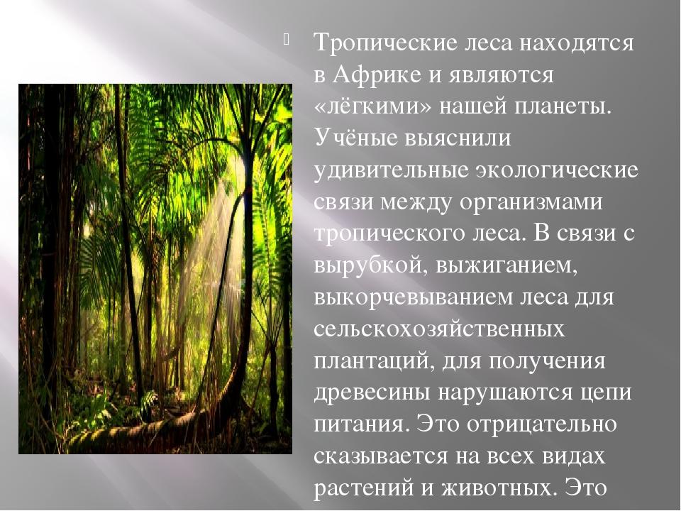 Тропические леса находятся в Африке и являются «лёгкими» нашей планеты. Учён...