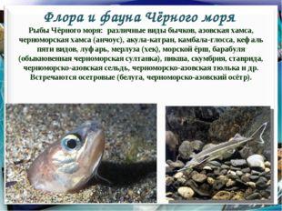 Флора и фауна Чёрного моря * Рыбы Чёрного моря: различные виды бычков, азовск