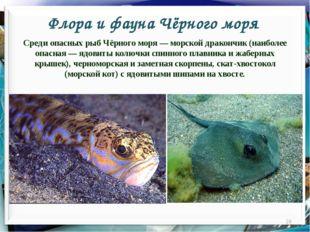 Флора и фауна Чёрного моря * Среди опасных рыб Чёрного моря — морской драконч