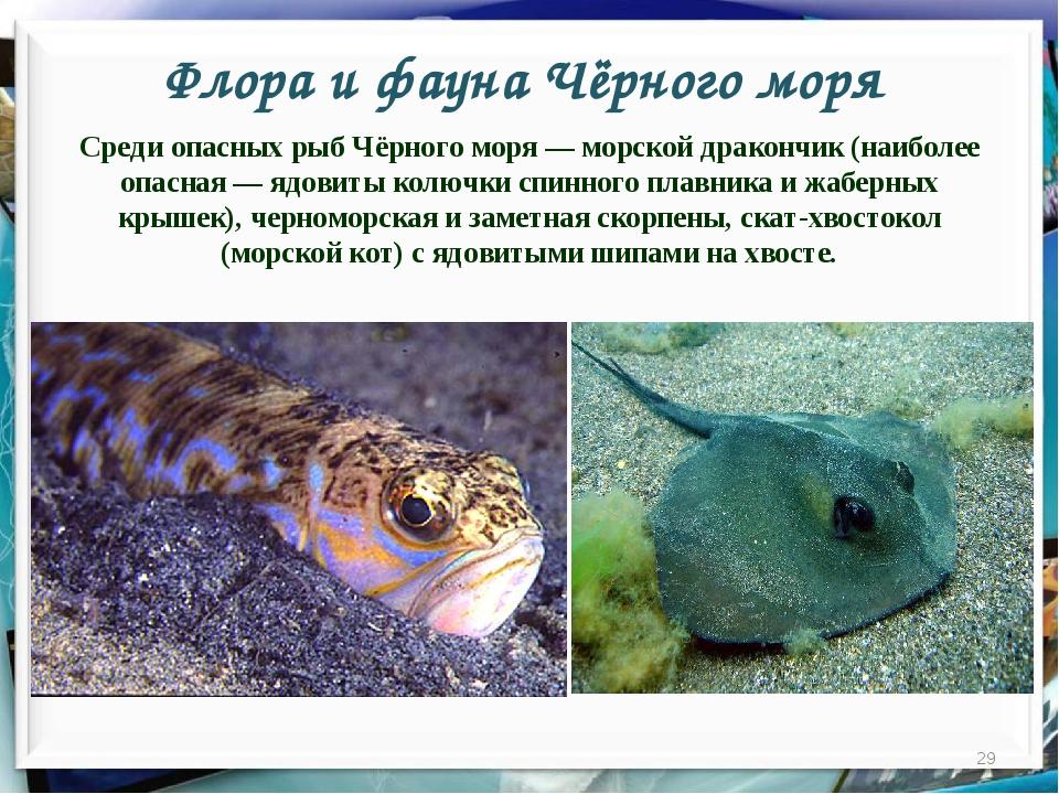 Флора и фауна Чёрного моря * Среди опасных рыб Чёрного моря — морской драконч...