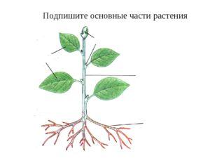 Подпишите основные части растения