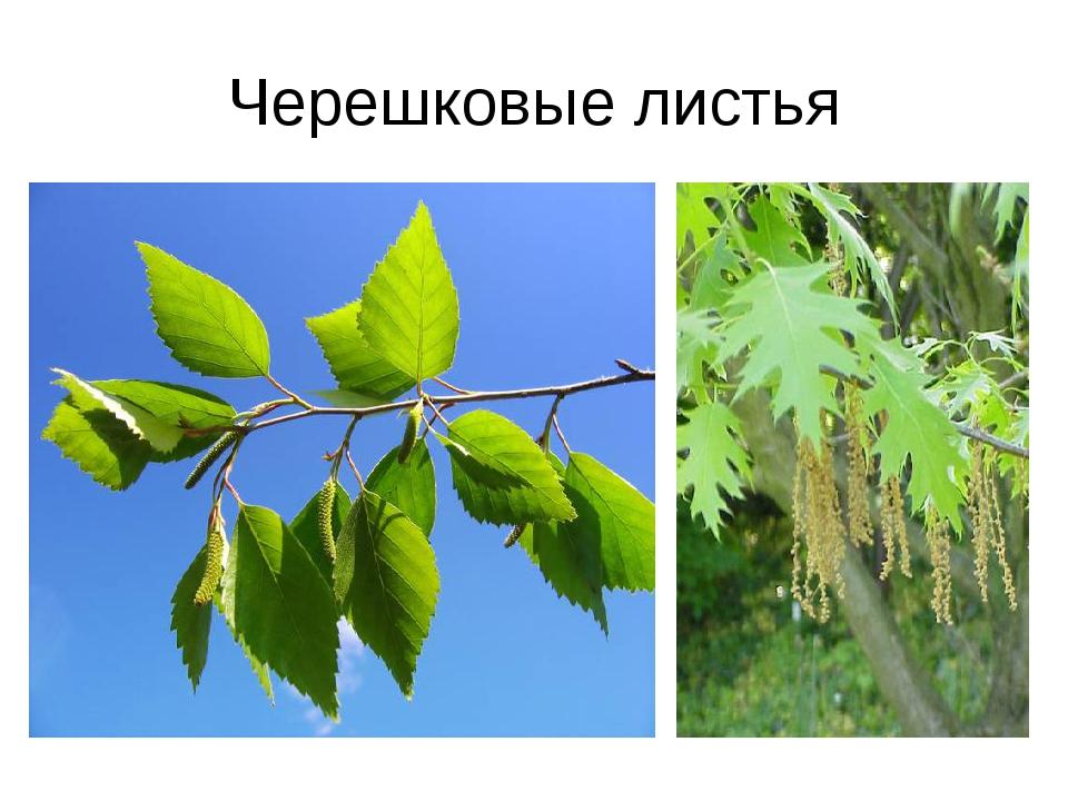 Черешковые листья