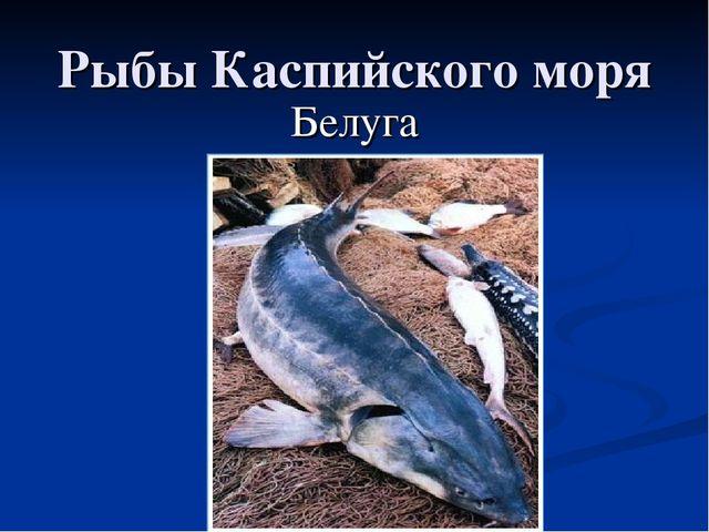 Рыбы Каспийского моря Белуга