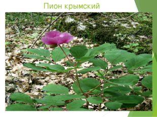 Пион крымский