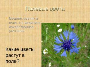 Полевые цветы Василек-сорняк в поле, а в медицине - лекарственное растение Ка