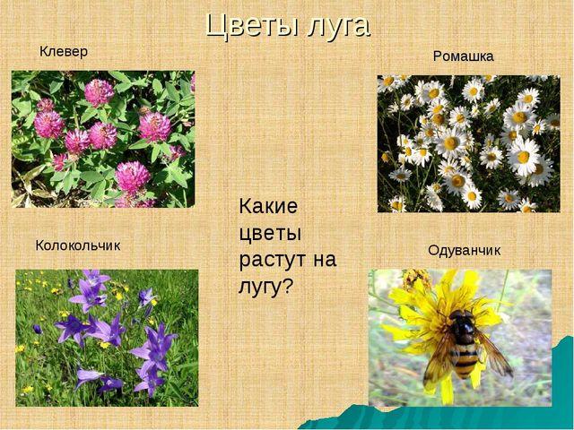 Цветы луга Ромашка Клевер Колокольчик Одуванчик Какие цветы растут на лугу?