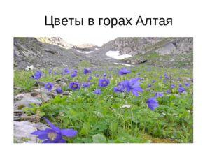 Цветы в горах Алтая
