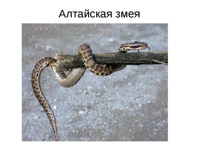 Алтайская змея