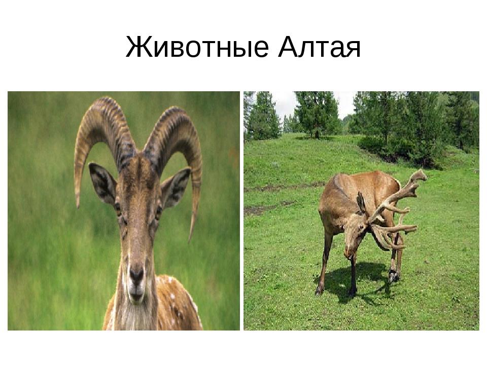 Животные Алтая