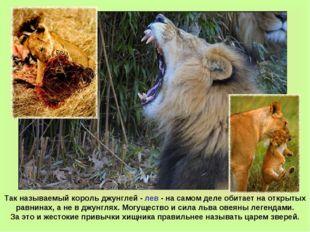 Так называемый король джунглей - лев - на самом деле обитает на открытых равн