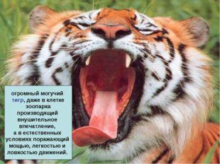 огромный могучий тигр, даже в клетке зоопарка производящий внушительное впеча