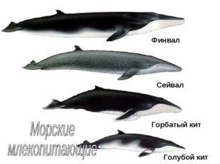 Финвал Сейвал Горбатый кит Голубой кит