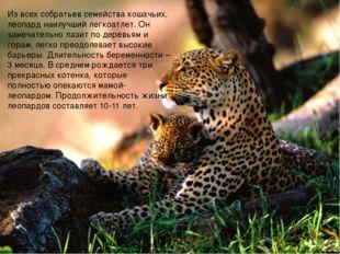 Из всех собратьев семейства кошачьих, леопард наилучший легкоатлет. Он замеча