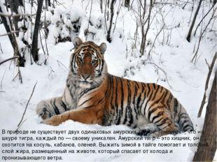 В природе не существует двух одинаковых амурских тигров, «рисунок», что на шк