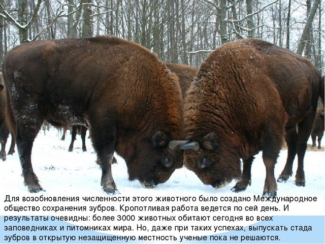 Для возобновления численности этого животного было создано Международное обще...
