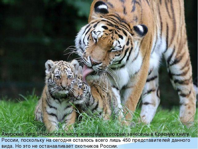 Амурский тигр относится к числу животных, которые занесены в Красную книгу Ро...