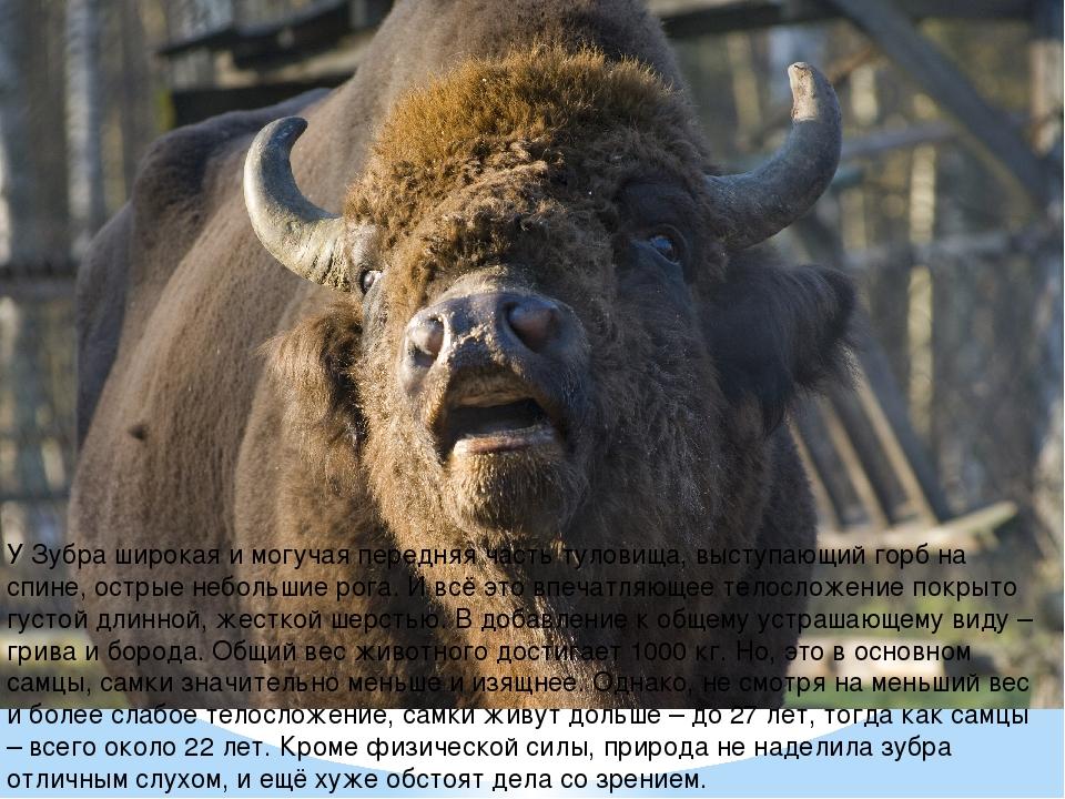 У Зубра широкая и могучая передняя часть туловища, выступающий горб на спине,...