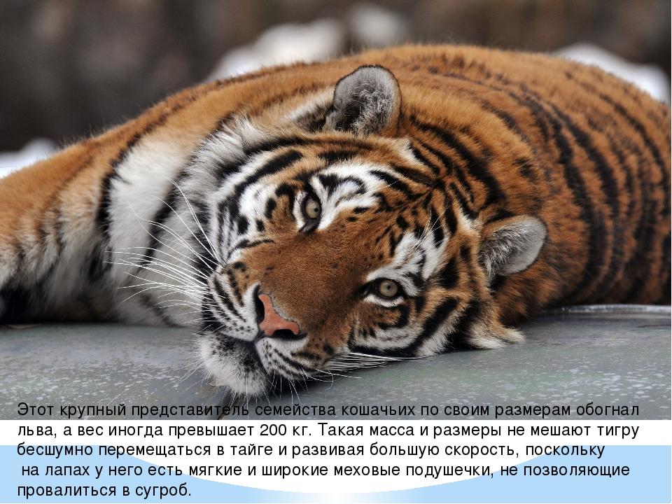 Этот крупный представитель семейства кошачьих по своим размерам обогнал льва...