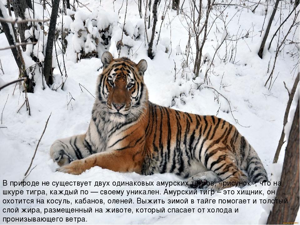 В природе не существует двух одинаковых амурских тигров, «рисунок», что на шк...