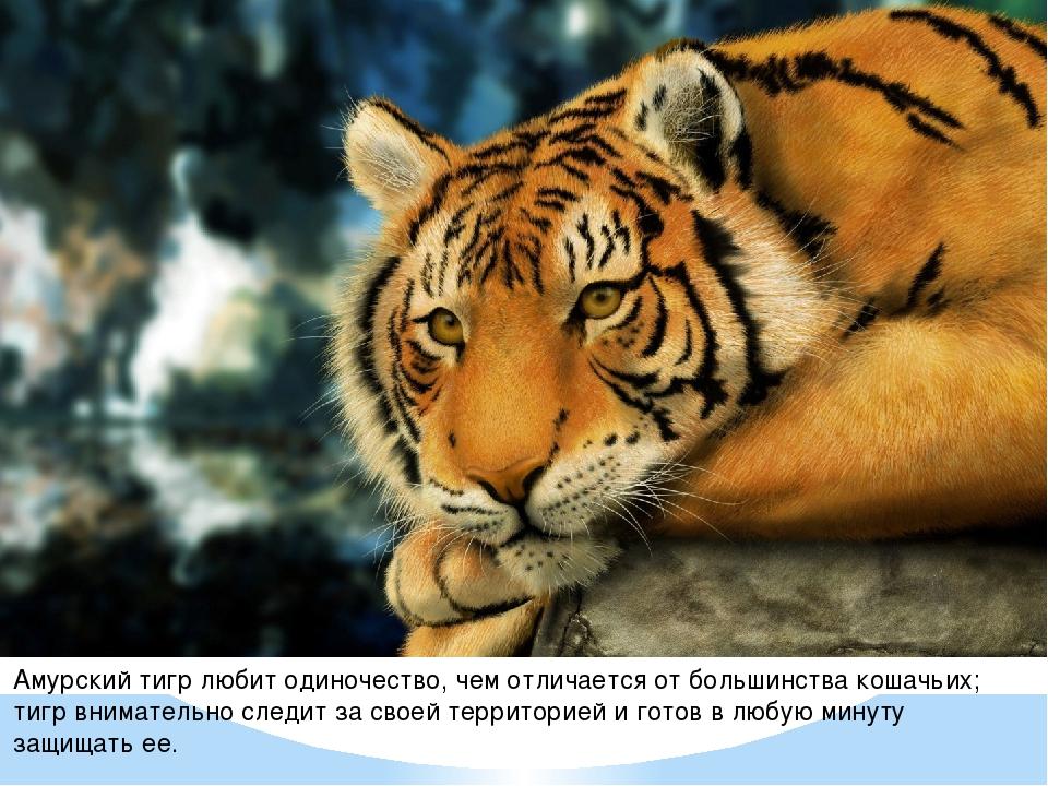Амурский тигр любит одиночество, чем отличается от большинства кошачьих; тигр...
