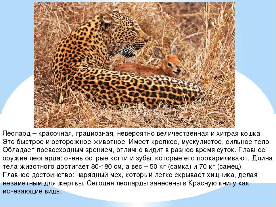 Леопард – красочная, грациозная, невероятно величественная и хитрая кошка. Эт...