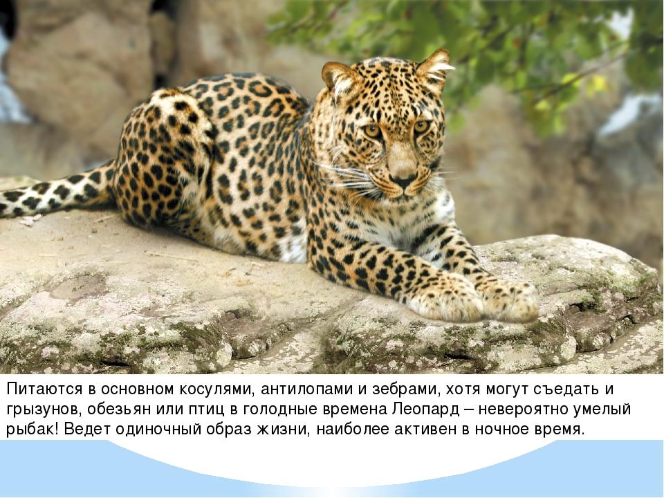 Питаются в основном косулями, антилопами и зебрами, хотя могут съедать и грыз...