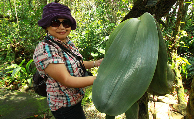 Орхидея самая большая в мире