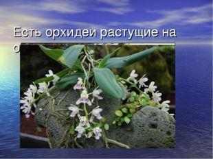 Есть орхидеи растущие на отвесных скалах