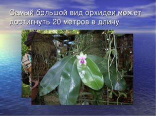 Самый большой вид орхидеи может достигнуть 20 метров в длину