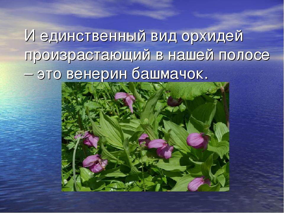 И единственный вид орхидей произрастающий в нашей полосе – это венерин башмач...