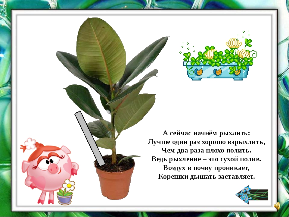 Найдите комнатные растения, у которых листья очищают от пыли с помощью пульве...