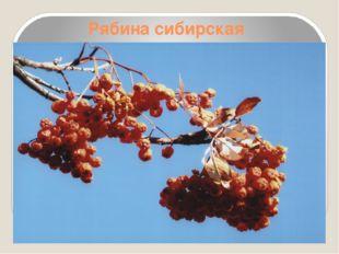 Рябина сибирская
