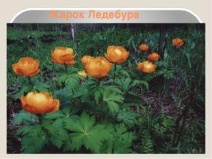 Жарок Ледебура