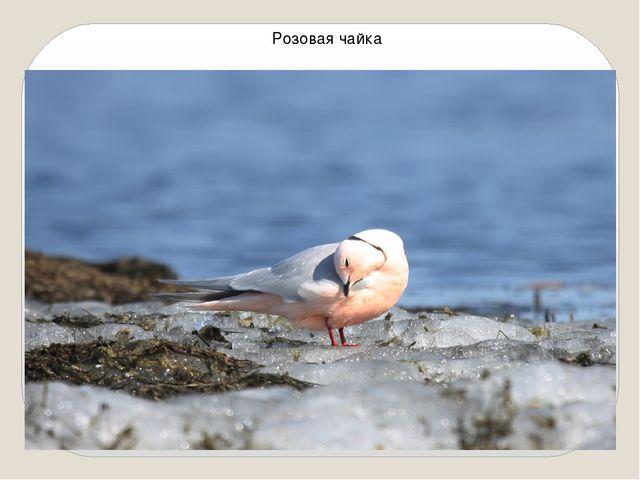 Розовая чайка