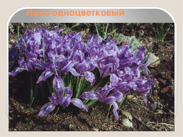 Ирис одноцветковый
