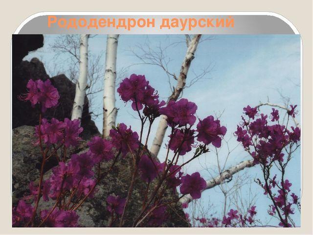 Рододендрон даурский