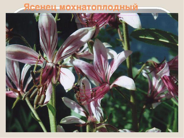 Ясенец мохнатоплодный