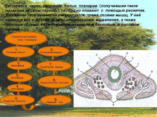 Ресничные черви, например белые планарии (получившие такое название за свою...